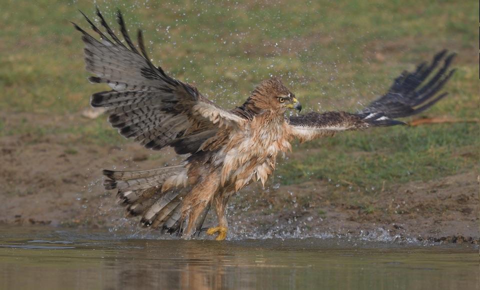Bonelli's Eagle,Chambal