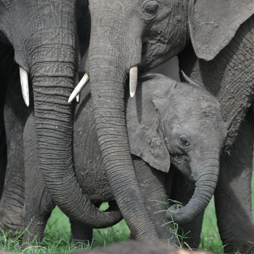 Elephant,Masai Mara,Kenya