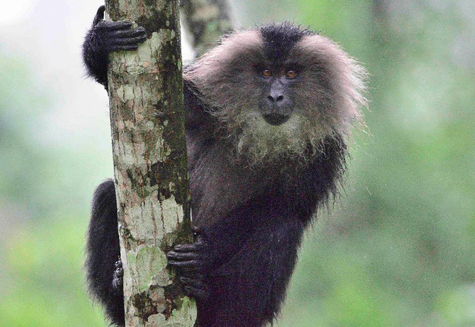 Lion-tailed Macaque,Valparai