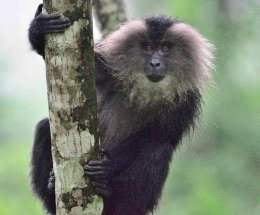 Lion-tailed Macaque,Valparai