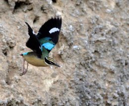 Indian Pitta,Ranthambhore