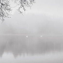 Brantry Lough Swans