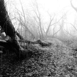 Eerie Foggy Woods
