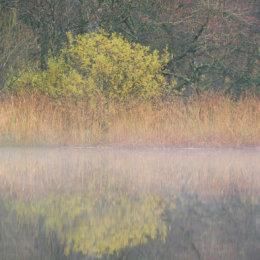 Misty Lake Tree