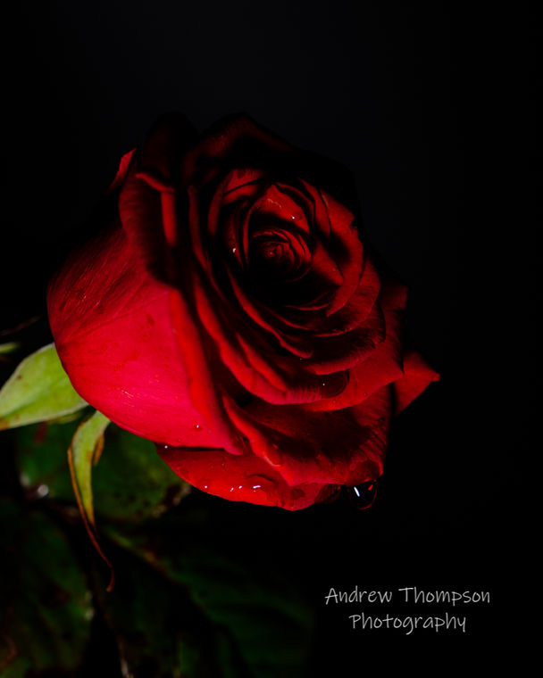 Blood of a rose