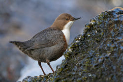 White-bellied Dipper