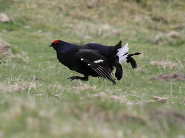 Black Grouse, Amurlee