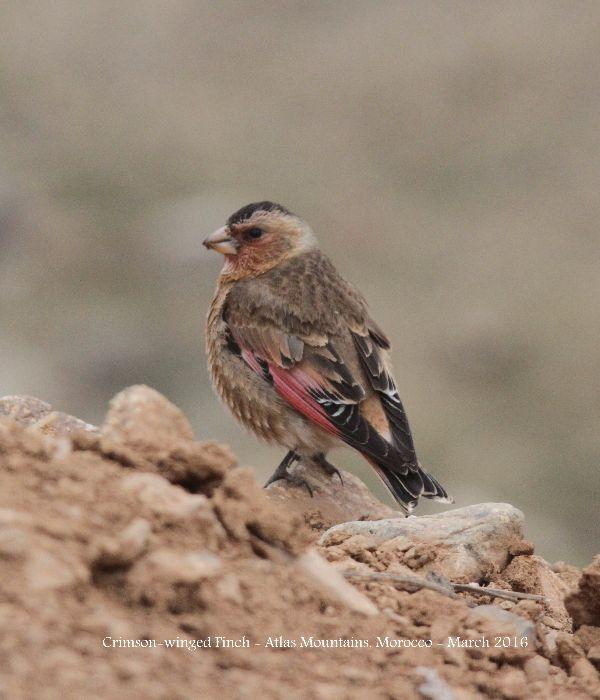 002. Crimson-winged Finch