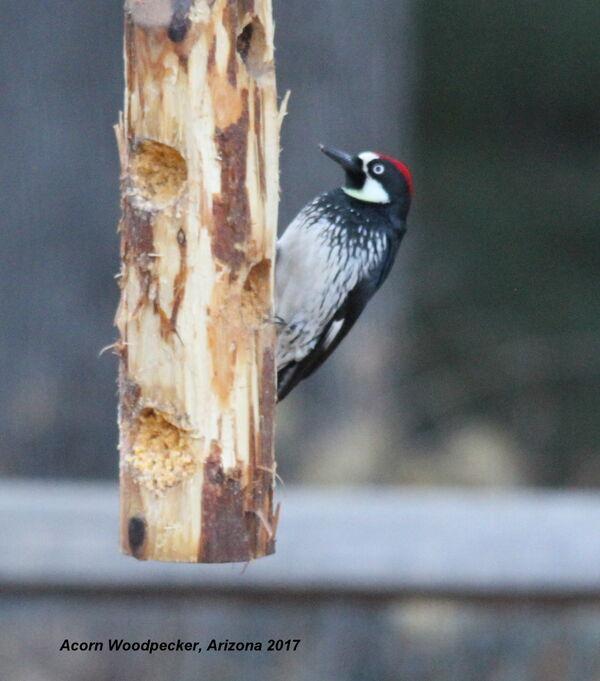 Acorn Woodpecker, Arizona