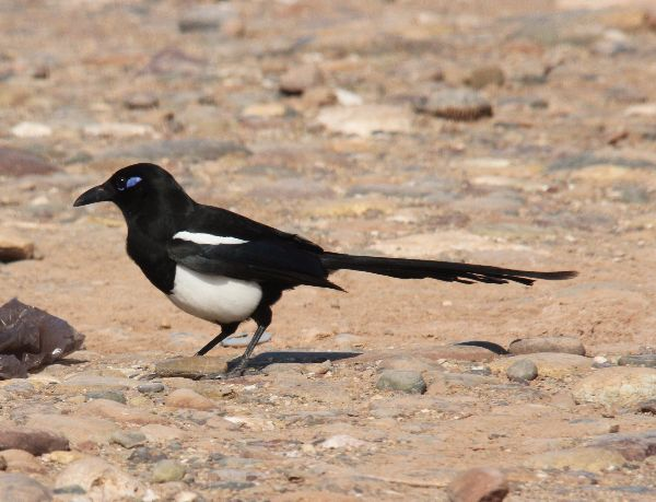 004. Common Magpie