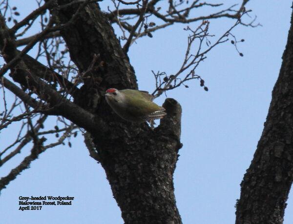 Grey-headed Woodpecker ~ Poland