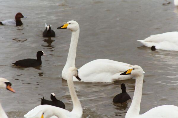 Whooper Swan ~ February ~  Welney Wildlife Trust