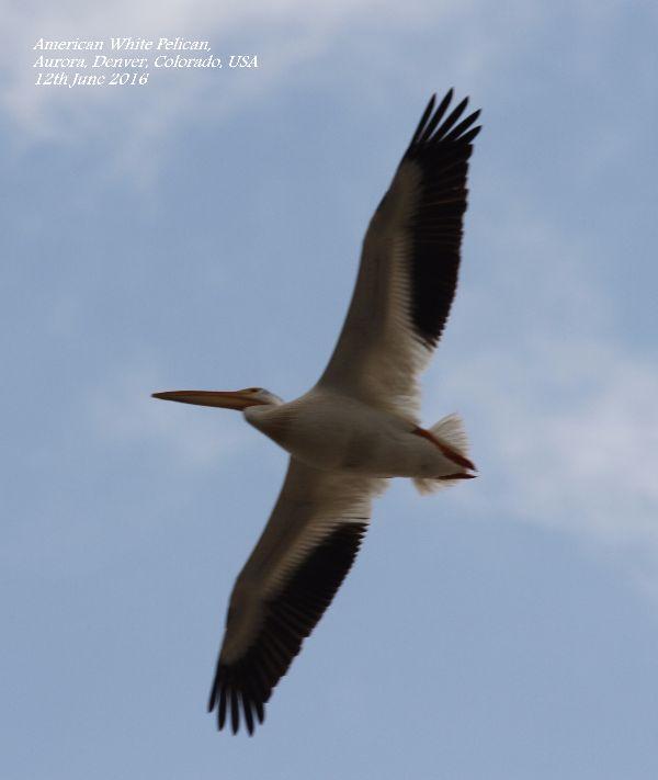 006. American White Pelican