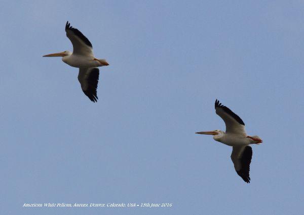 008. American White Pelican