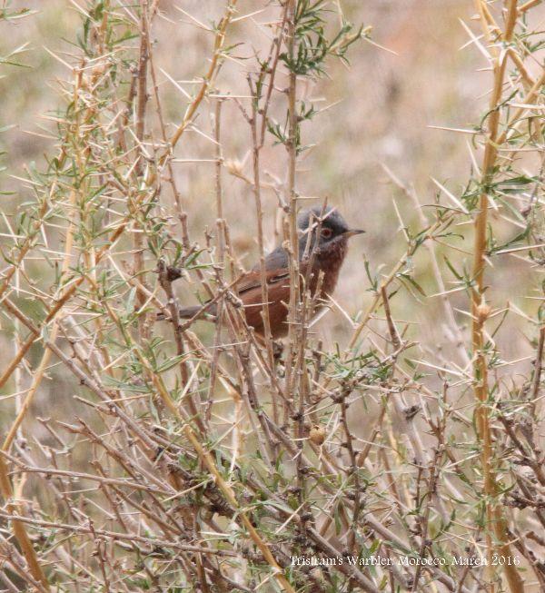 008. Tristram's Warbler