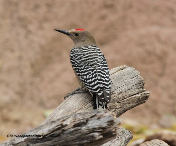 008z) Gila Woodpecker