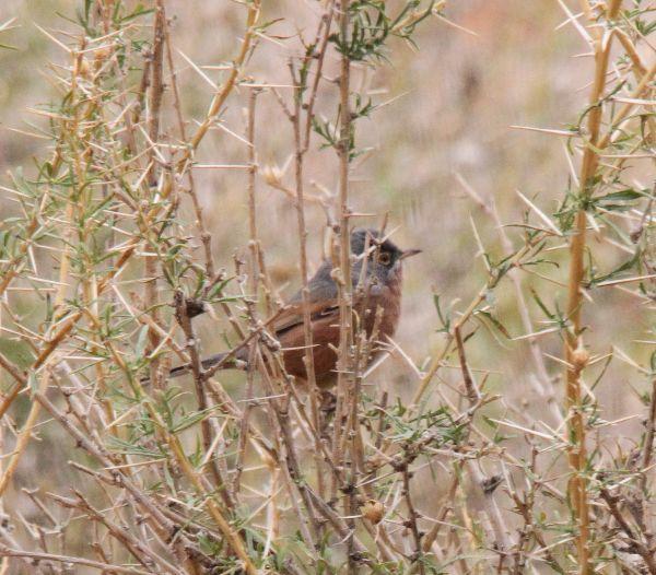 009. Tristram's Warbler