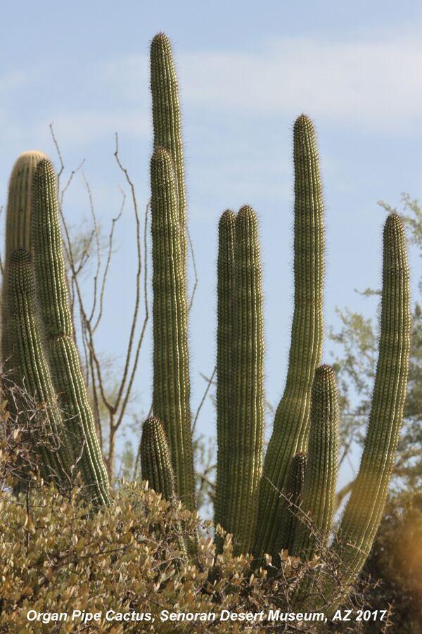 Organ Pipe Cactus ~ Senora Desert Museum, Arizona