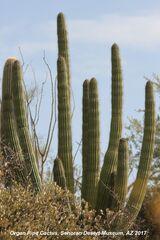 009) Organ Pipe Cactus ~ Senora Desert Museum