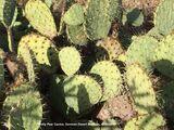 011) Prickly Pear Cactus ~ Senora Desert Museum