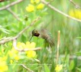 011. Broad-tailed Hummingbird