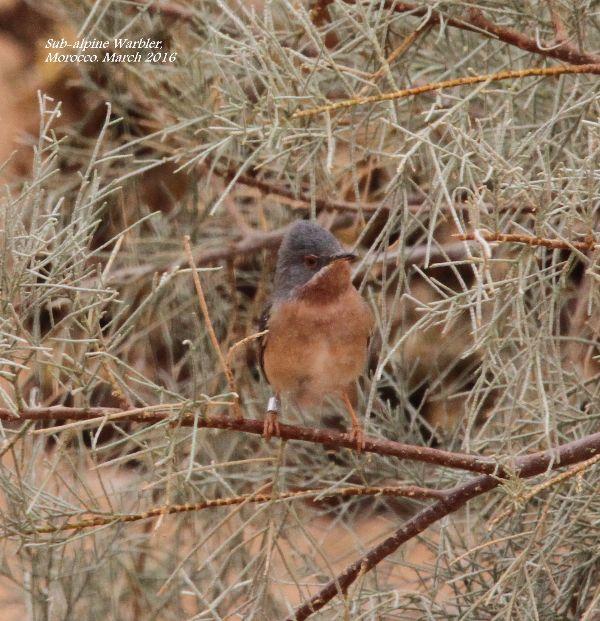 012. Sub-alpine Warbler
