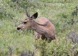 013. Mule Deer
