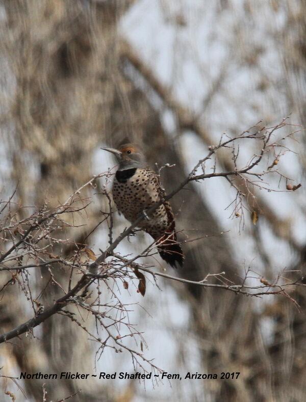 Northern Flicker, Red-shafted (Western) Female, Arizona