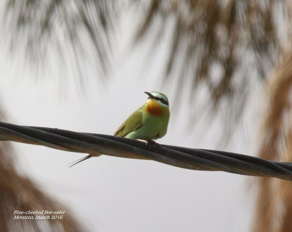 014. Blue-cheeked Bee-eater