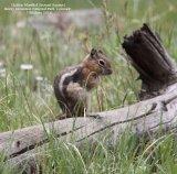 014. Golden Mantled Ground Squirrel