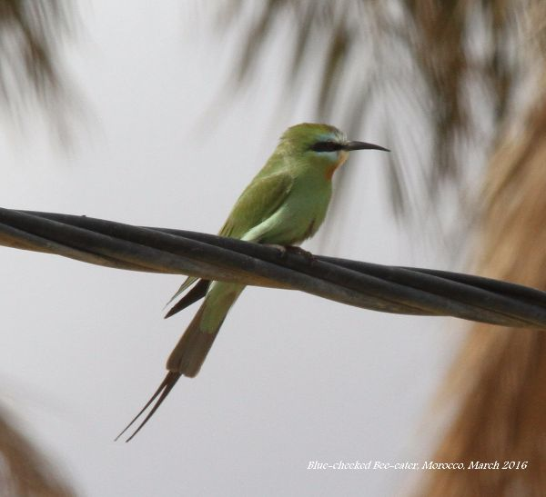 015. Blue-cheeked Bee-eater