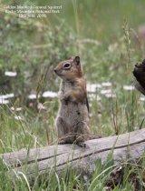 015. Golden Mantled Ground Squirrel