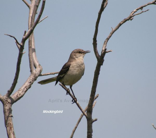 Northern  Mockingbird, beautiful bird and an iconic sight for our first visit to the USA