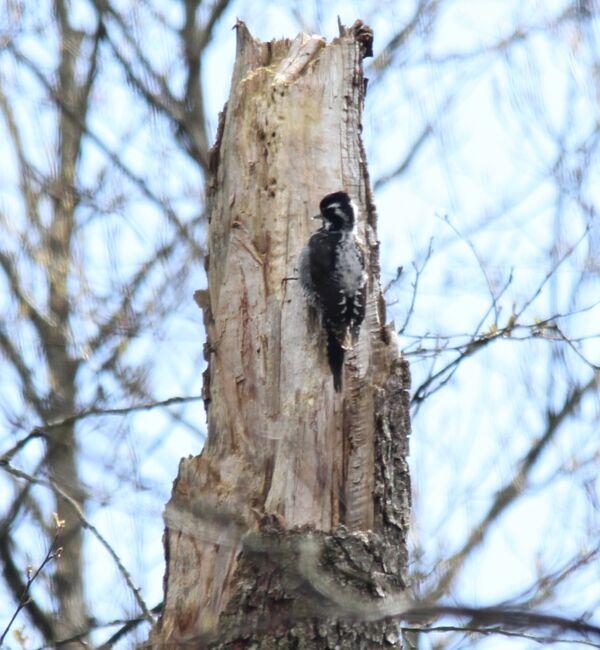 Three-toed Woodpecker ~ Poland