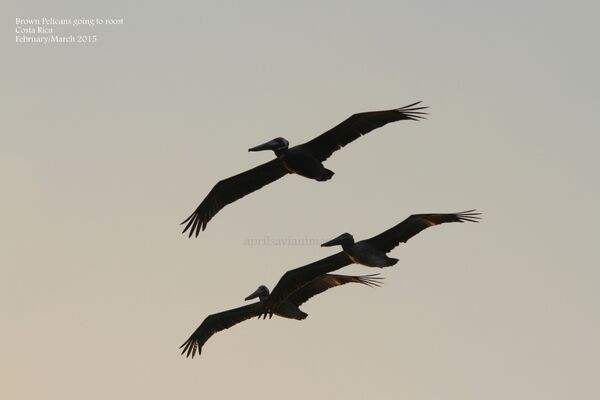 Brown Pelicans going to roost