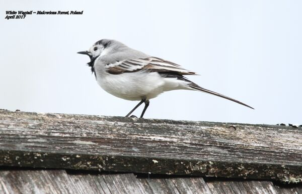 White Wagtail ~ Poland