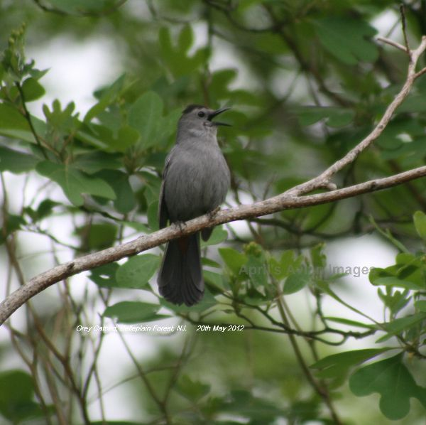 Catbird, we loved the Catbirds, lovely song