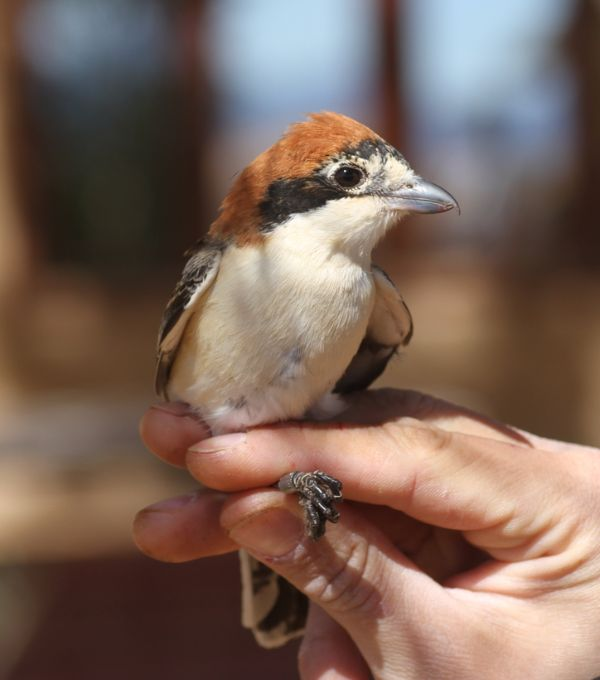 020a Woodchat Shrike