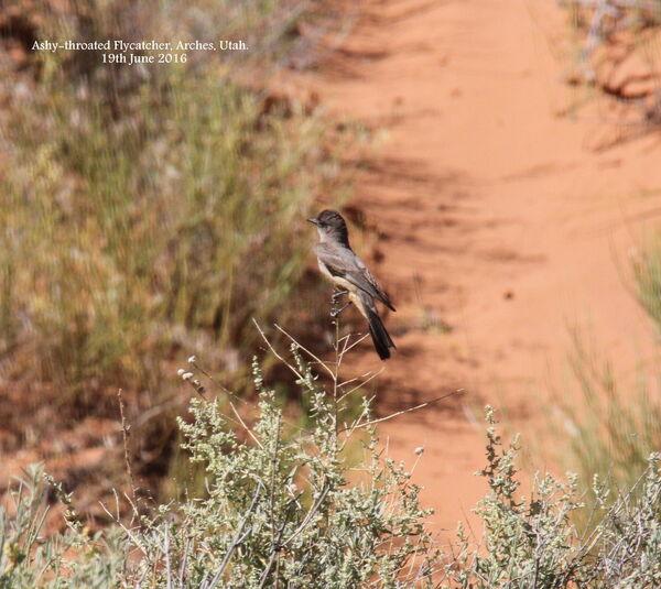 Ashy-throated Flycatcher