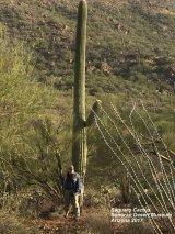 022) Saguaro Cactus ~ Sonoran Desert Museum