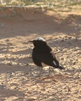 023. White-crowned Wheatear