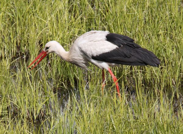White Stork ~ Poland