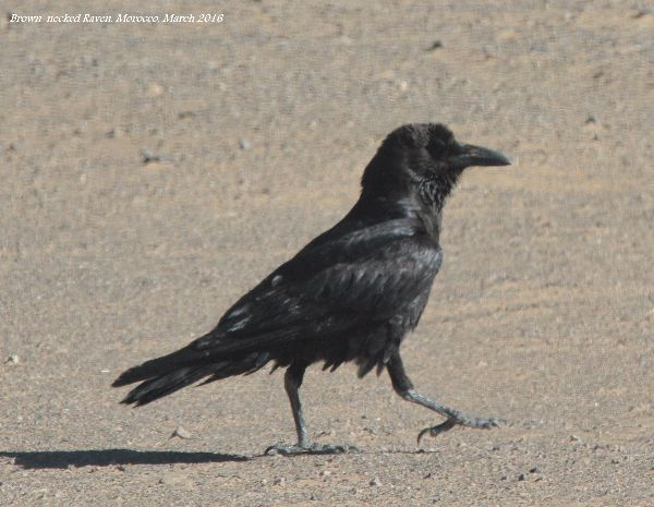 025. Brown-necked Raven