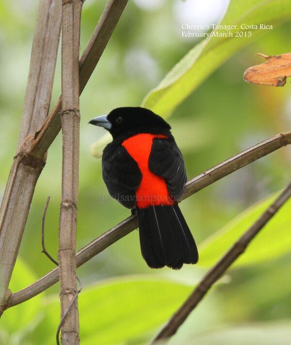 Cherrie's Tanager.