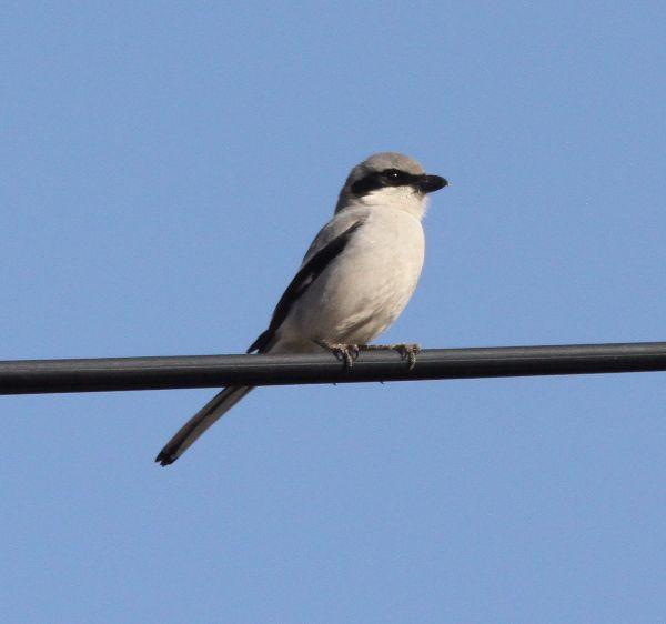 026. Great Grey Shrike