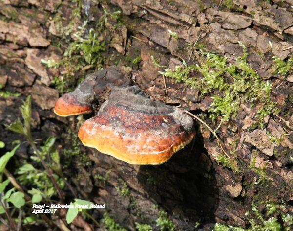Fungi ~ Bialowieza Forest, Poland