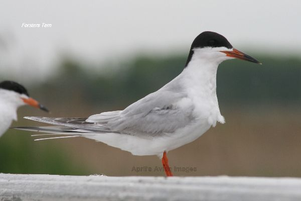 Forsters Tern, very photogenic