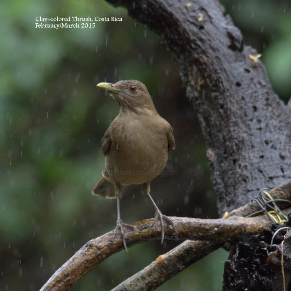 Clay-colored Thrush.