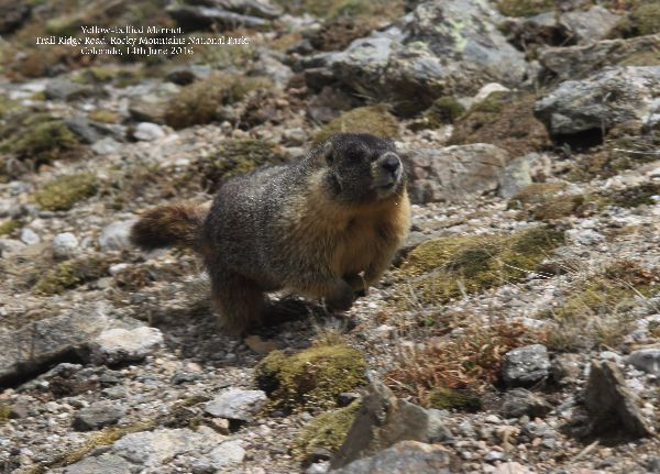 030. Yellow-bellied Marmot