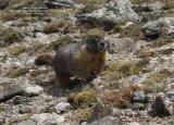 030. Yellow-bellied Marmot